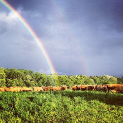 Double rainbow in the background, contently grazing cattle in the foreground. Life is good