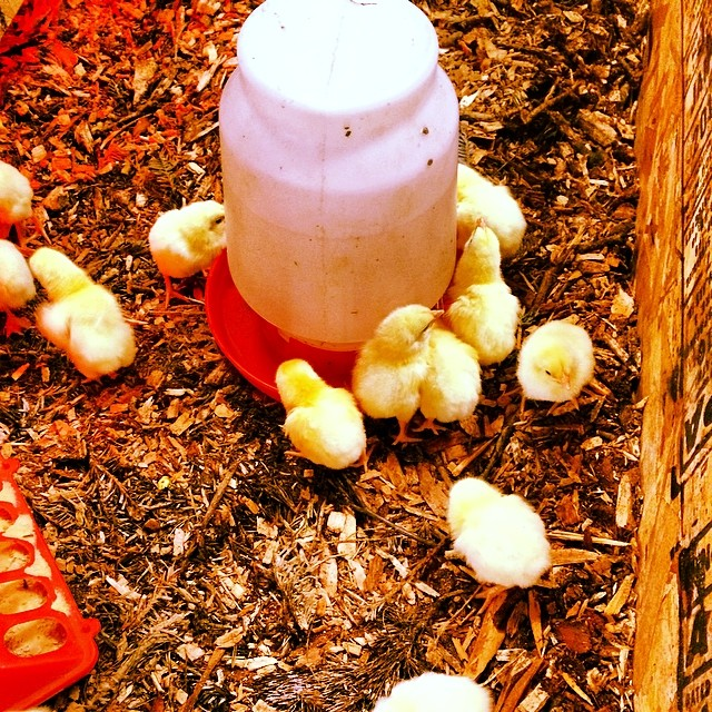 Baby chicks arrived!