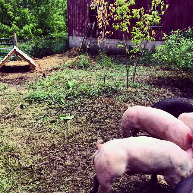 The pigs sure took down their first paddock!