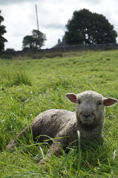 Meet Dolly, our favourite wooly friend. When we first got Dolly, she was so weak she couldn't stand up. Having nursed and hand-fed her back to full health, she is the friendliest of them all.