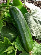 230520 cucumber pasandra.jpg