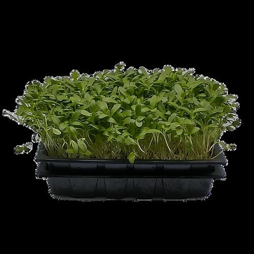 Fenugreek Microgreens Live Tray