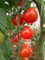 Sakura Tomatoes.jpg