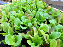 Small seedlings of mixed salad leaves gr