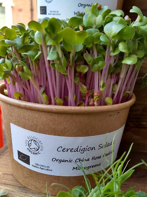China Rose Radish Microgreen Live Pot