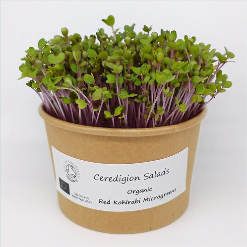 Red Kohlrabi Microgreen Live Pot
