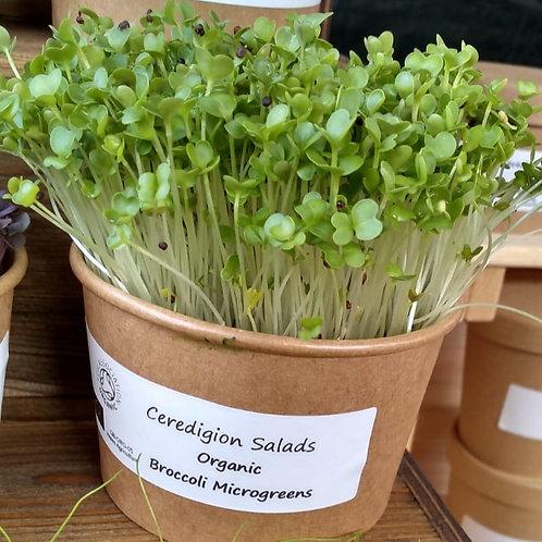 Broccoli Microgreen Live Pot
