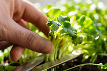 Hand cutting microgreens for adding to f