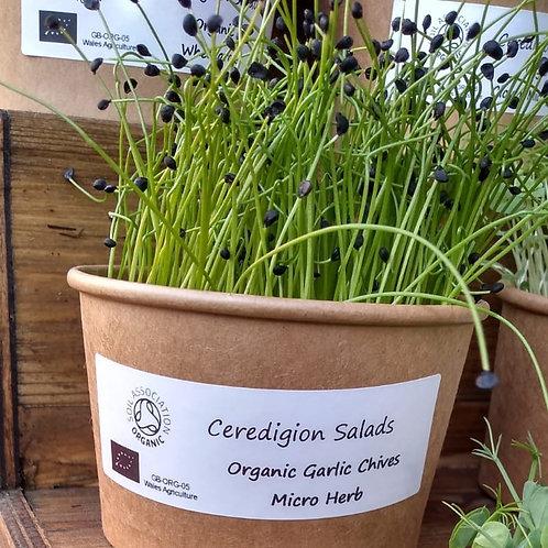 Garlic Chive Microgreen Live Pot