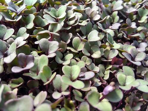 Freshly Cut Red Cabbage Microgreens