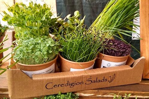 Tray of 6 Microgreen Live Pots