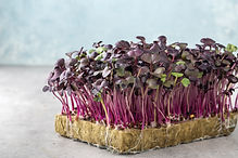 Micro greens sprouts of purple radishes