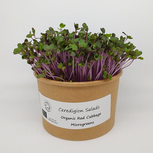 Red Cabbage Microgreen Live Pot