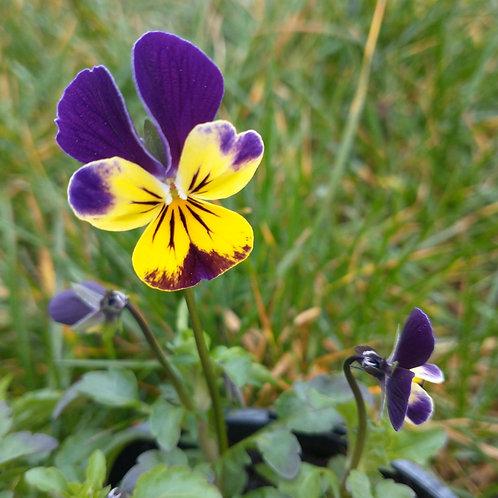 Viola Edible Flower