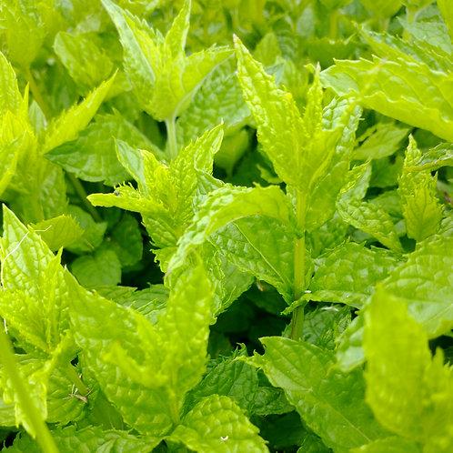 Mint Bunch - Organic