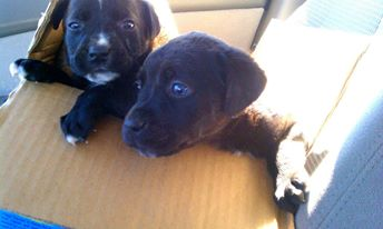 Buster, Cally and Della first Pups r