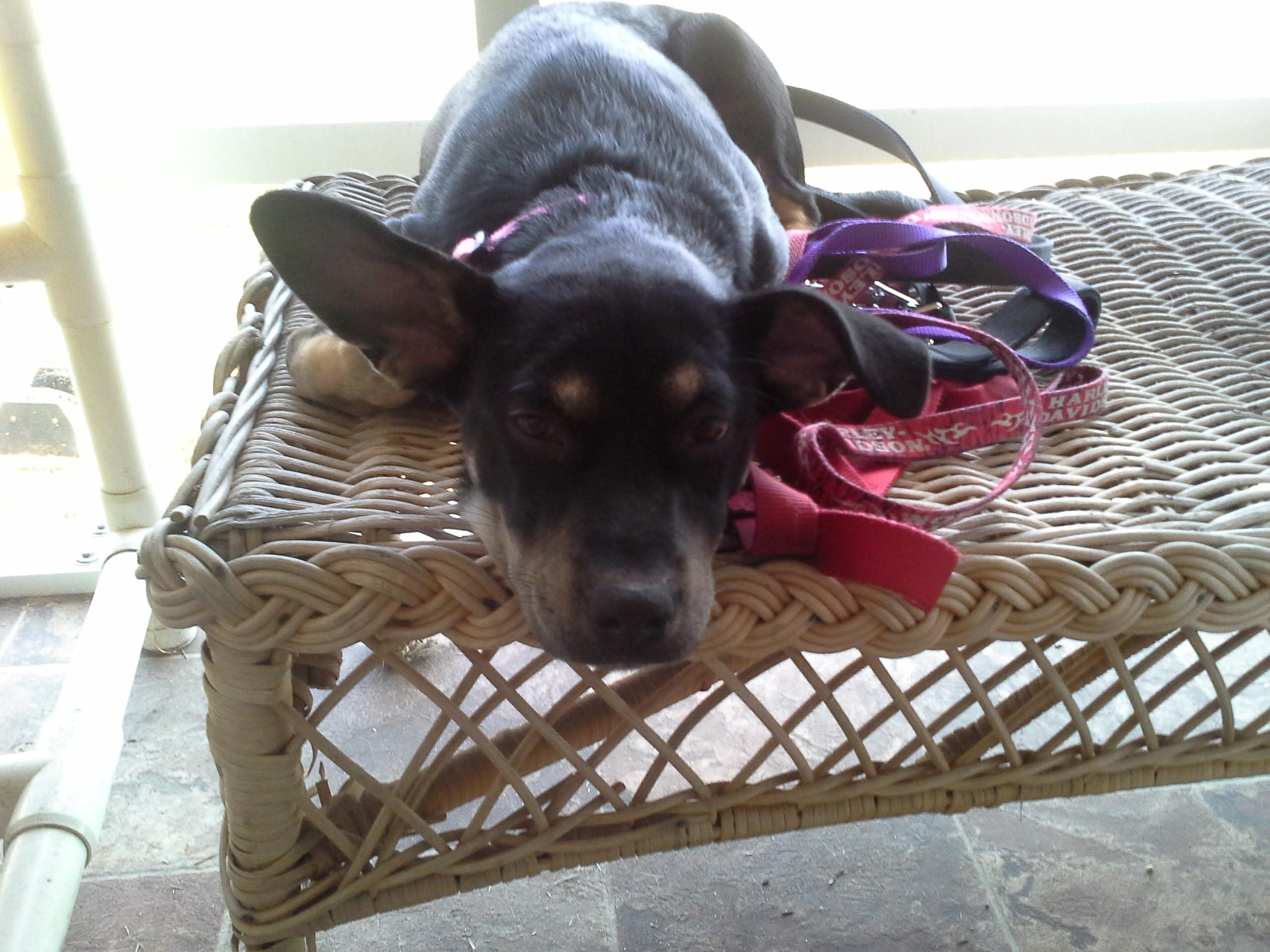 Delilah tuckered out.jpg