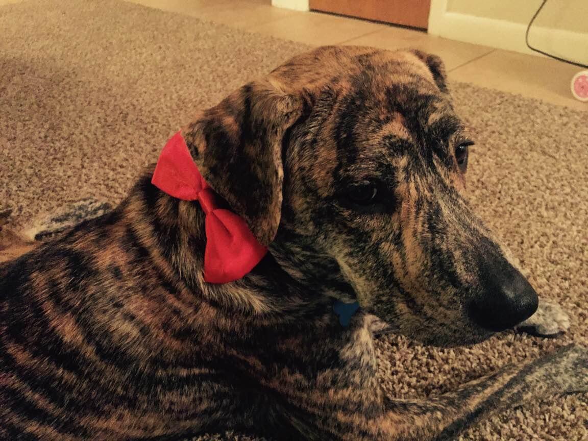Pepper Charlie Handsome in Bow Tie.JPG