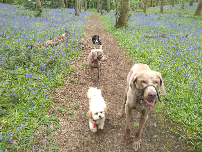 It's bluebell time