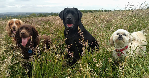 Fudge, Ben, Bonnie and Sherlock enjoying their walk.