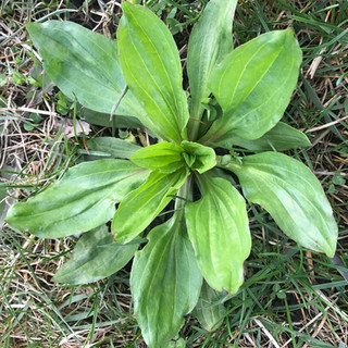 Plantain - Herbal Ally