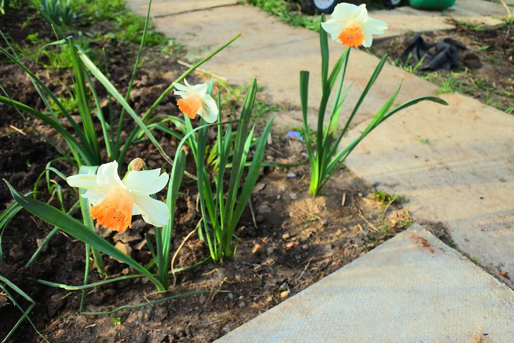 Daffodils Purple Sweet Pea Allotment