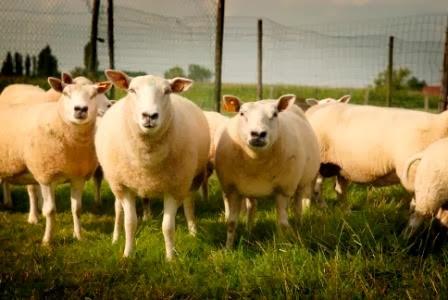 schapen3 copyweb-2.jpg