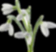 webmaster-visibabesnowdrops_Ilustracije_