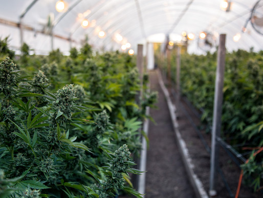 New York has Legalized Cannabis, What does it Mean for Businesses & Employers?
