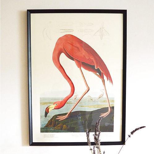 Affiche American Flamingo