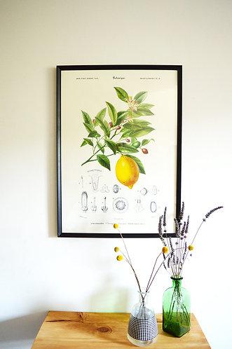 Affiche Botanique - Citron