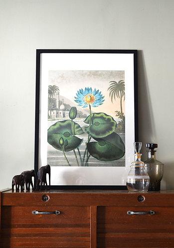 Affiche Botanique - Nénuphar