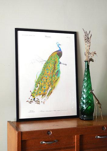 Affiche Oiseaux - Paon domestique