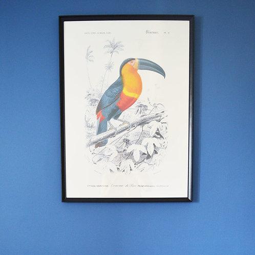 Affiche Oiseaux - Toucan