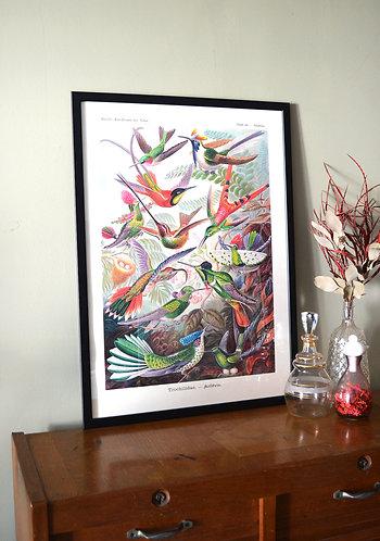 Affiche Oiseaux - Colibris