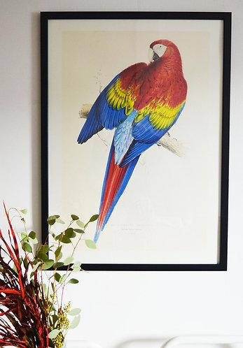 Affiche Oiseaux - Perroquet