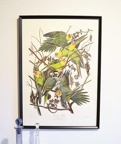 Affiche Oiseaux - Carolina Parrot