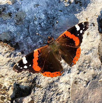 Butterfly rocca magiore copy.jpg