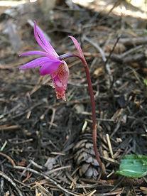 Calypso Lily copy.jpg