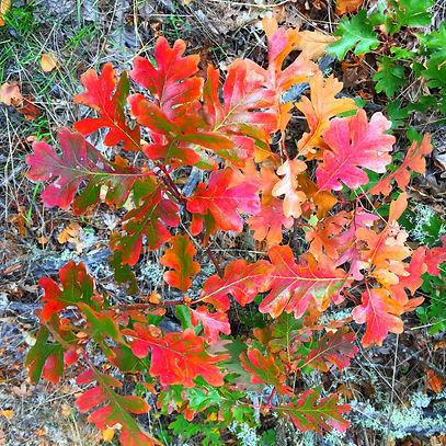 Crimson oak copy.jpg