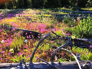 Scab meadow glory copy.jpg