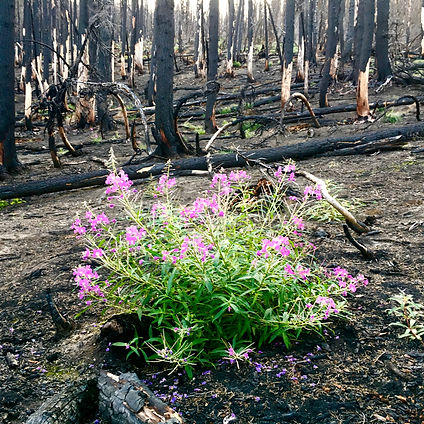 Fireweed in  burn copy.jpg