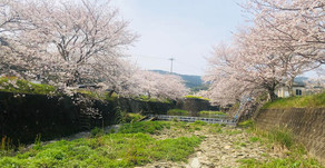 琴海戸根川の桜が満開です!