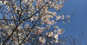桜開花始めました!