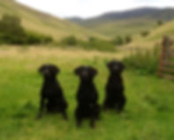 Gundog Training South Wales