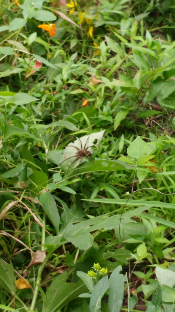 Thankfully this tennis ball sized spider is not native to Illinois/Wisconsin.