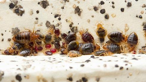 bedbugscrop.jpg