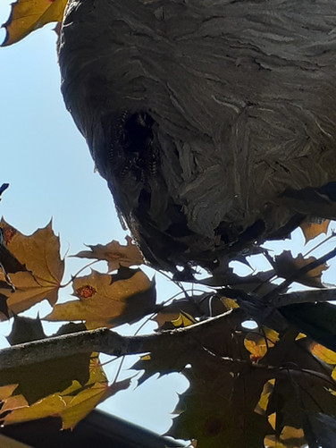 This bald faced hornet nest was under attack by yellow jackets at the time of service.