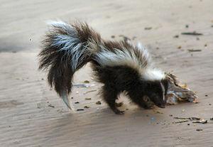 skunk-1554310.jpg