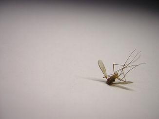 mosquito-1-1549195.jpg